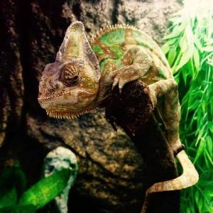 Chameleon jemenský.jpg