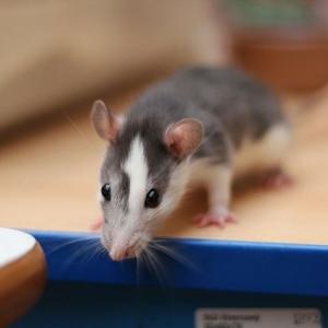 Potkan laboratorní (2).jpg