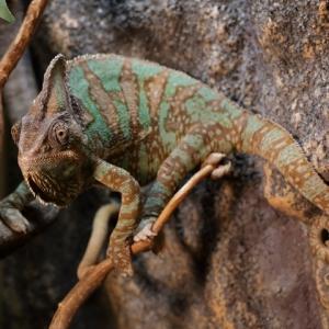 23_chameleon jemenský.JPG