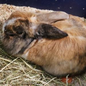 40_králík domácí.JPG